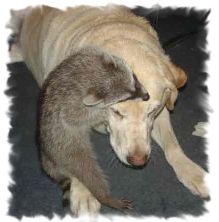 larry the pet raccoon with yellow lab dog