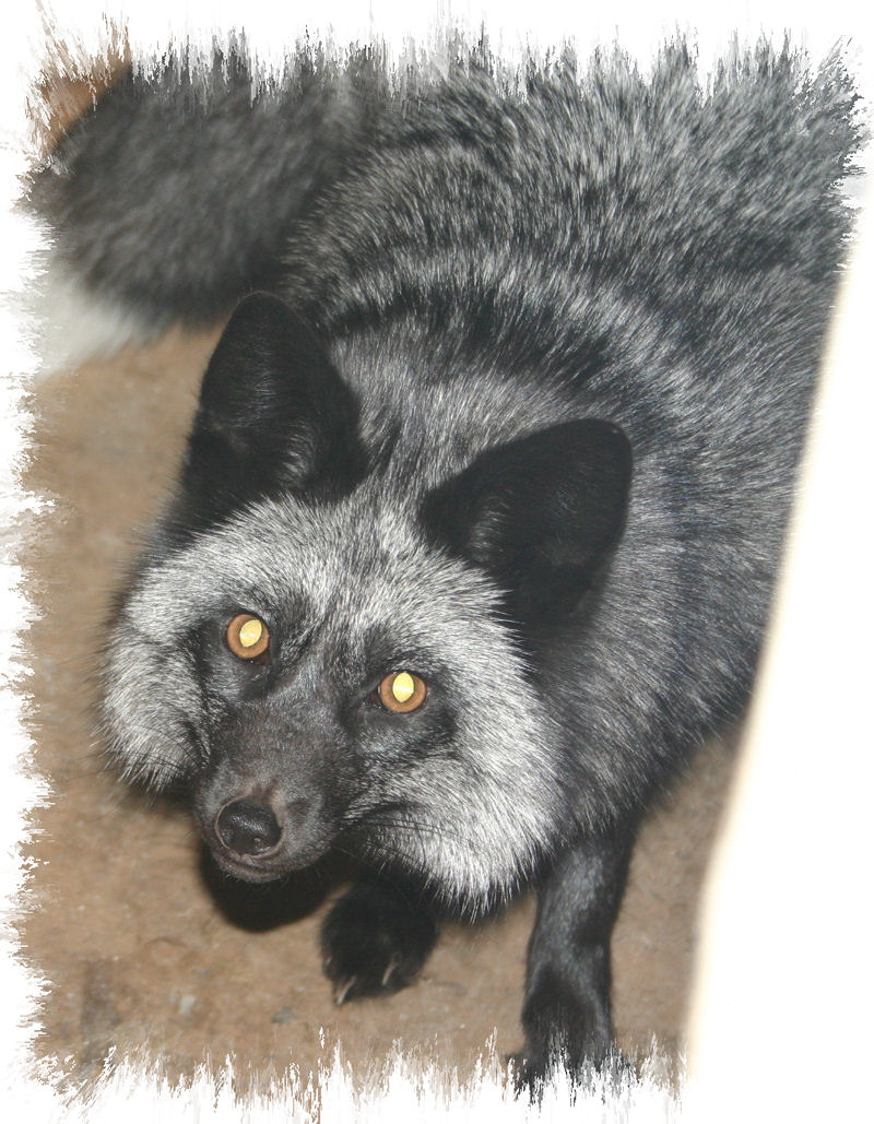 darla the silver fox