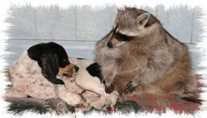 larry the raccoon with anna the coonhound dog