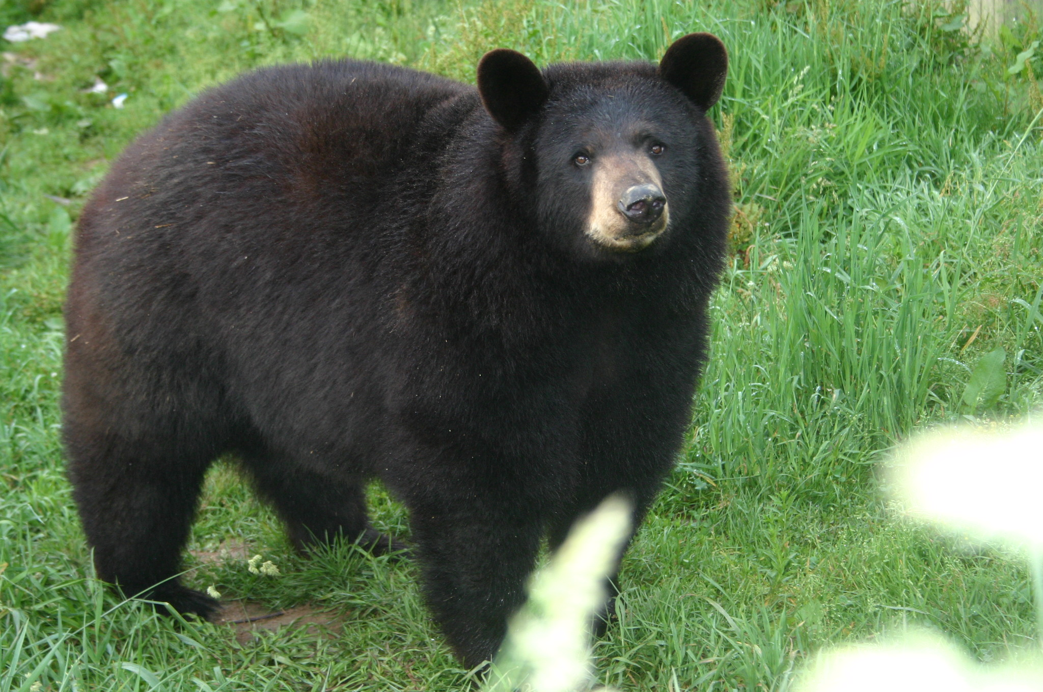 sybil the black bear