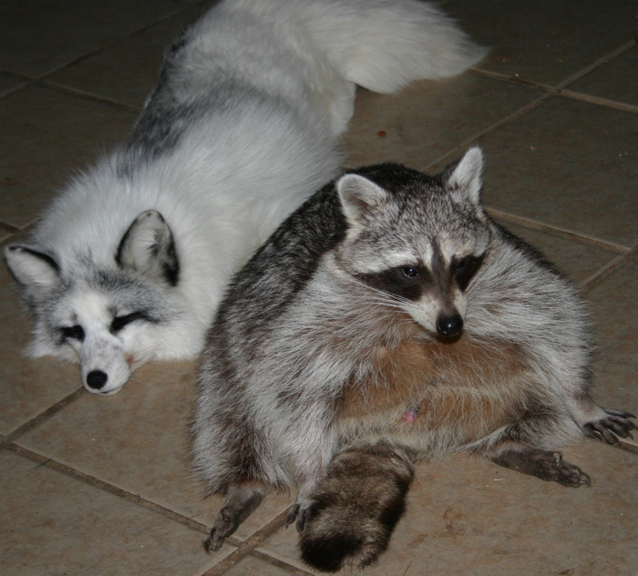 marble fox and raccoon