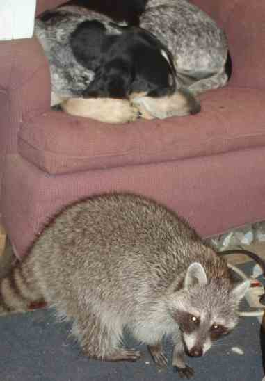 blue tick coonhound with raccoon