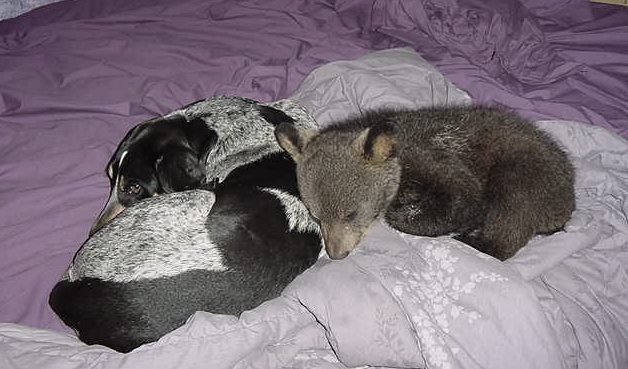 blue tick coonhound with bear cub