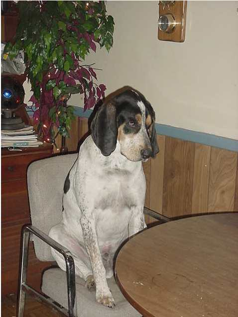 opie the coonhound sitting at kitchen table