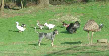 emu with geese, turkey and dog