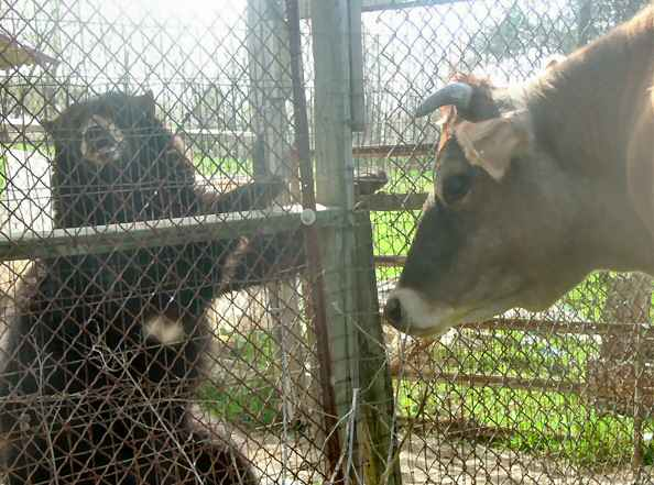 sybil the domestic black bear with cow