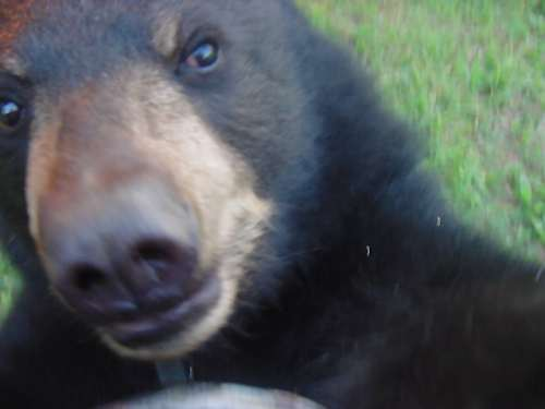 close up of benny the bear cub
