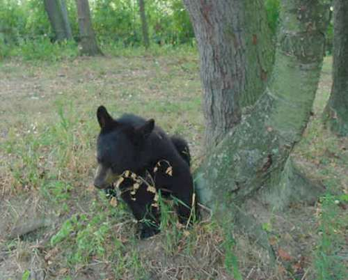 benny the domestic black bear cub