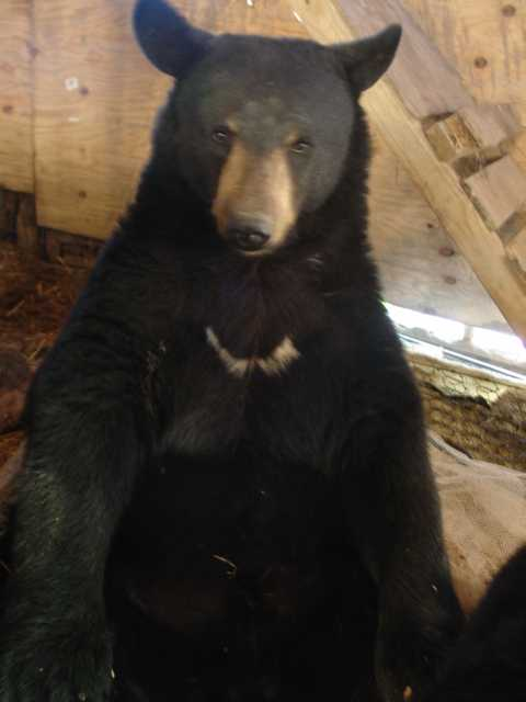 benny the domestic black bear sitting up
