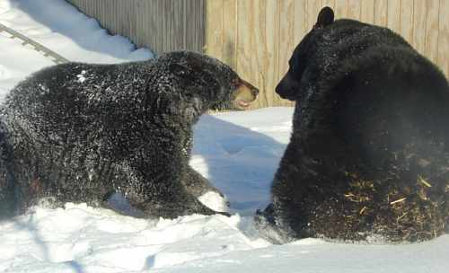 black bears playing in the snow