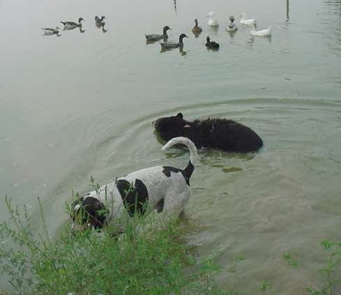 sybil the domestic black bear swimming with ducks and blue tic