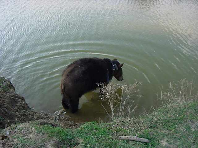sybil the black bear in pond after hibernation