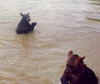 sybil and benny the domestic black bear swimming