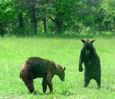 benny and sybi the domestic black bears playing