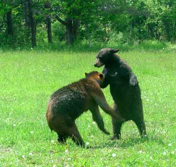 two black bears playing