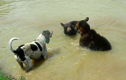 black bears and coonhound in water
